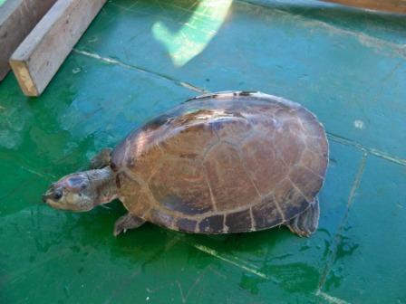 Iaçá, tartaruga de rio amazônica