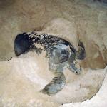 Tartaruga marinha fazendo a cama