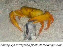 caranguejo carregando filhote de tartaruga verde - 3º Diário de Bordo