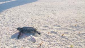 Filhote de Tartaruga-verde indo para o mar detalhe do rastro