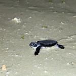 Filhote de tartaruga marinha