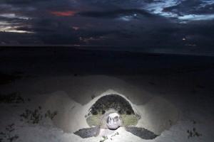 Tartaruga desovando