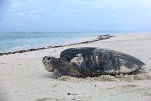 Tartaruga voltando ao mar depois da desova-3