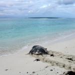Tartaruga voltando ao mar depois da desova-4