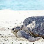 Tartaruga voltando ao mar depois da desova2