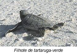 Filhote de tartaruga - 7º Diário de Bordo