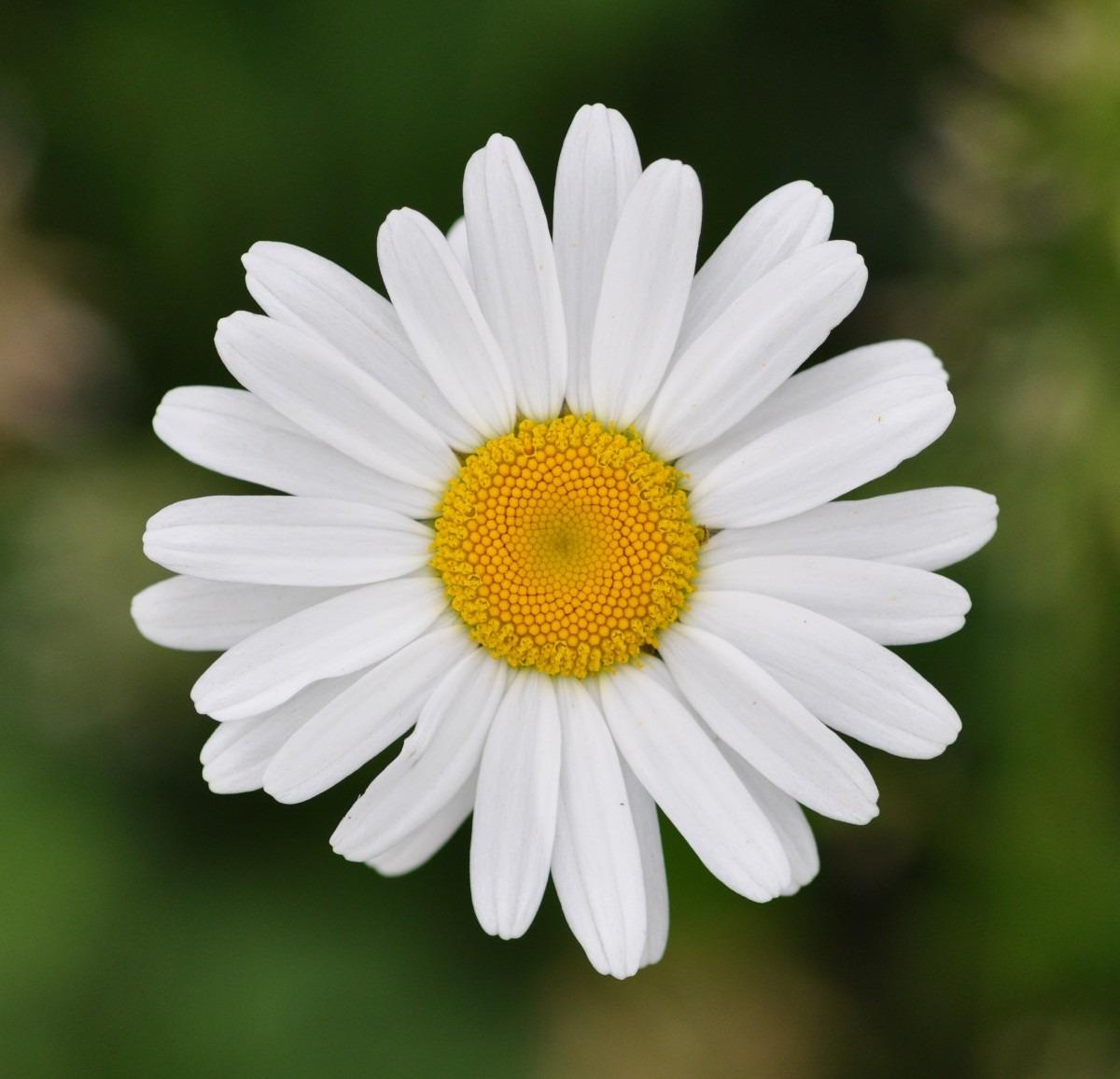 Margarida igui ecologia - Image fleur marguerite ...