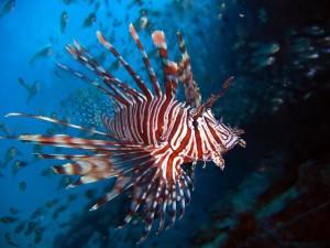 peixe-leao