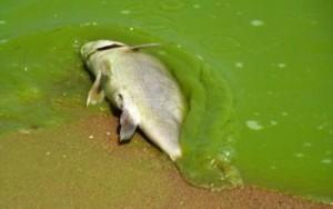 Peixe Eutrofização