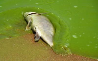 Eutrofiza o igui ecologia for Fat fish blue toledo
