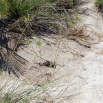 Ninho predado por caranguejos