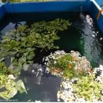 Tanque dos filhotes Alimentação com verduras