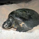 Tartaruga marinha desovando