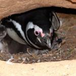 Figura 4. Pinguim-de-Magalhães com dois filhotes, um mais visível a esquerda e o outro mais escondido a direita.