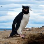 Figura 8. Pinguim-de-penacho-amarelo.