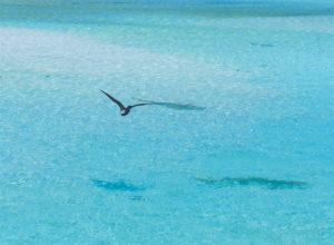 Andorinha do mar