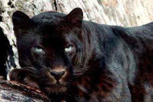 Onça-pintada negra