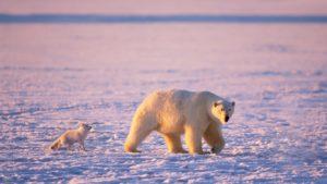 Urso polar e raposa