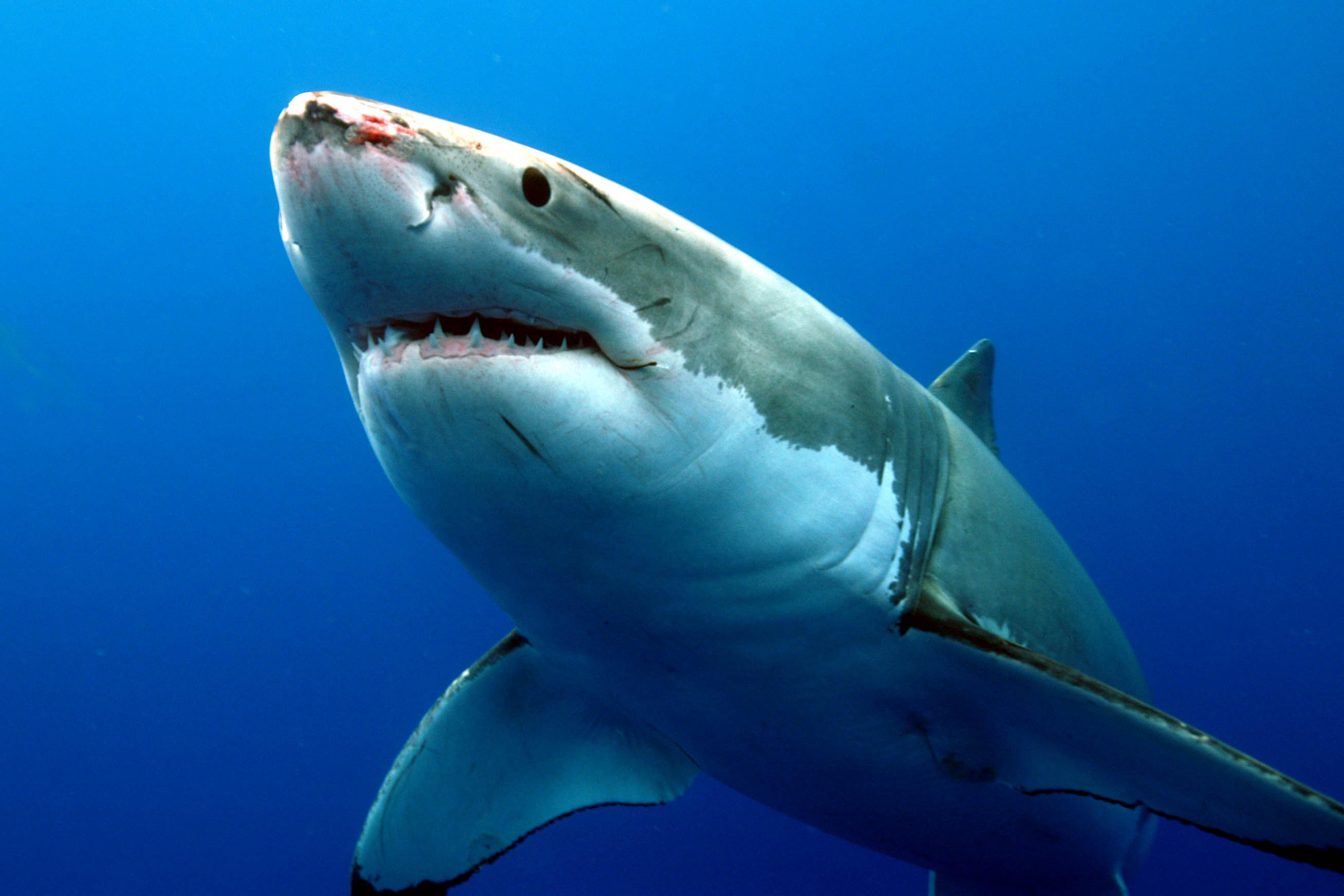 Tubarão branco mostrando a parte ventral branca