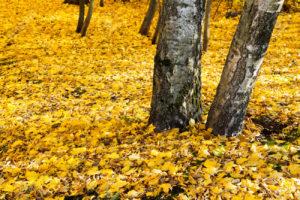 Lixo feito pelas folhas amarelas no outono