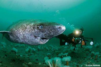 tubarão da groenlândia