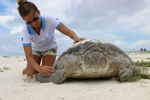 examinando tartaruga