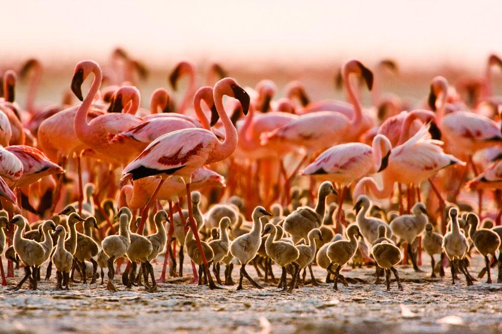 Flamingos no lago Natron