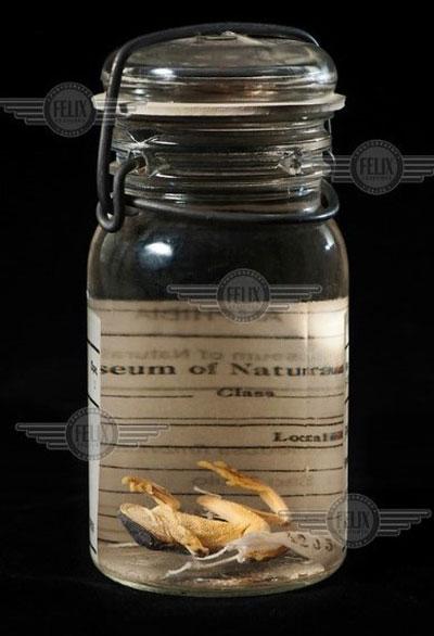 Perereca verde da fímbria armazenada em museu - espécies ameaçadas