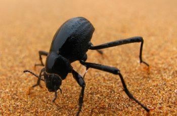 Besouro da Namibia