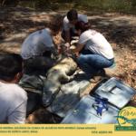Coleta de material biológico da cloaca de jacaré-do-papo-amarelo (Caiman latirostris) Fotografando no Espírito Santo, Brasil