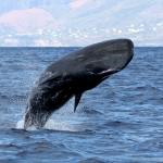 Os cachalotes estão entre a mais antiga das baleias dentadas(Credit Marina MilliganDominica Sperm Whale Project)