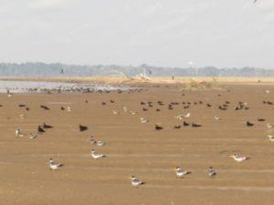 Praia de desova de tartarugas e aves amazônicas