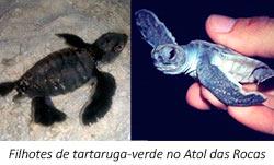 filhotes de tartaruga verde no atol das rocas - 3º Diário de Bordo