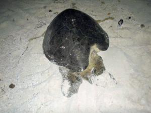 Tartaruga com lesão antiga