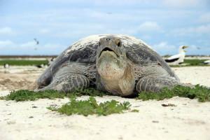 tartaruga marinha - 4º Diário de Bordo