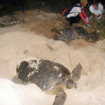 Duas tartarugas desovando