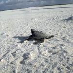 Filhote tartaruga-verde