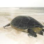 Tartaruga voltando ao mar