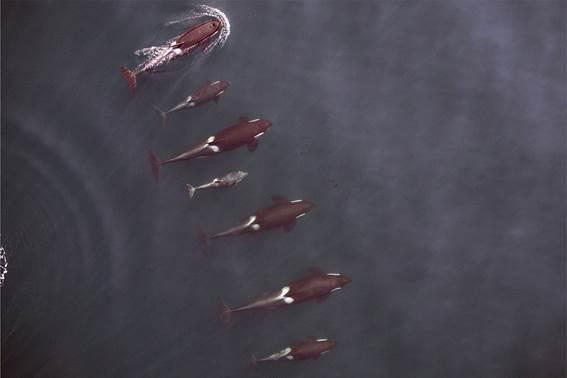 Figura 02. Família de Orcas. Fonte NOAA