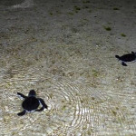 Filhotes de tartarugas marinhas_1