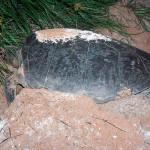 Tartaruga fazendo a cama