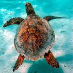 Tartaruga verde juvenil