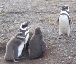 Figura 1. Ninho de Pinguim-de-Magalhães na Isla Magdalena/ Chile.