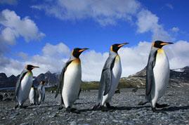 Figura 10. Pinguim-rei.