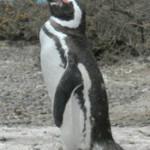 Figura 5. Adulto de Pinguim-de-Magalhães em Punta Tombo/ Argentina.