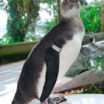 Figura 6. Juvenil de Pinguim-de-Magalhães.