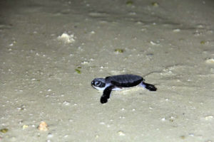 Filhote-de-tartaruga-marinha