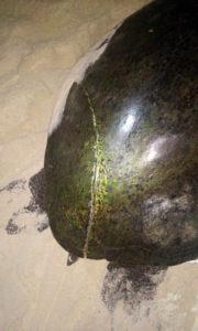 Lesao-em-tartaruga-com-possivel-associacao-com-embarcacao