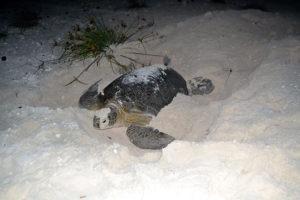 Tartaruga marinha