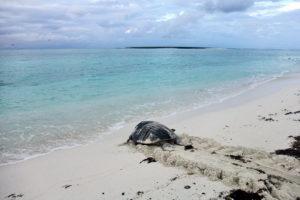 tartaruga voltando para o mar